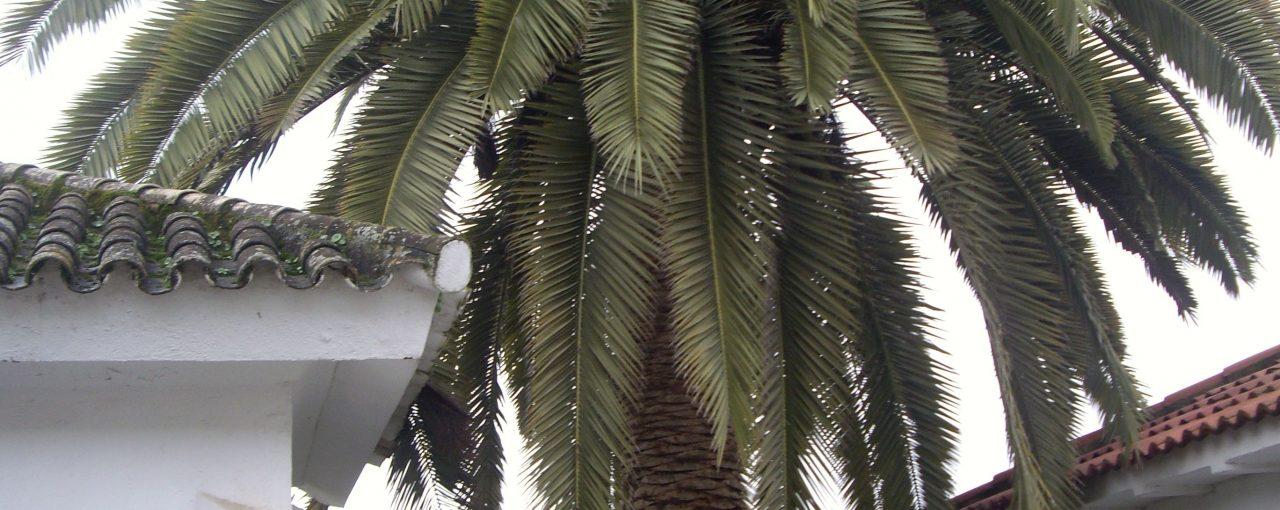 Traslado de una palmera de gran valor